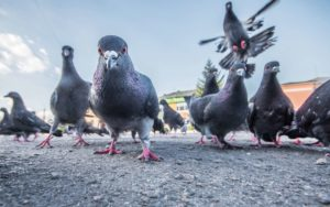 se-débarrasser-des-pigeons-astuces
