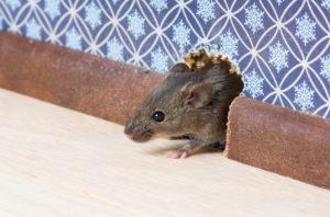 astuces-se-débarasser-des-souris