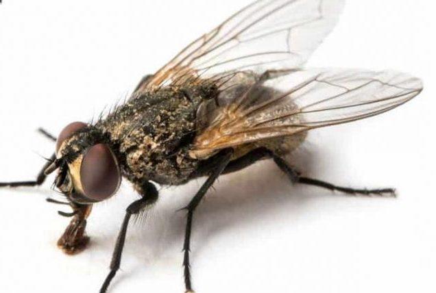 Se débarrasser des mouches et des moucherons - Les deratiseurs