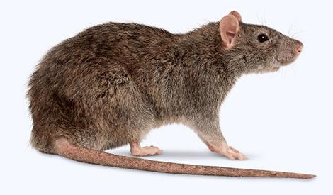 Entreprise contre les rats