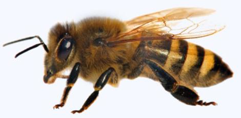 Société contre les abeilles